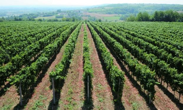 vinograd2.jpg