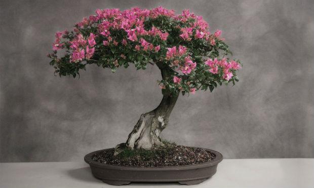 bonsai-drvo-uzgoj.jpg